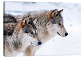 Canvas  Two Timber Wolves in the snow - Louise Murray