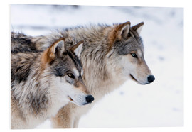 Foam board print  Two Wolves in the snow - Louise Murray