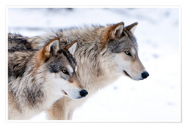 Premium poster  Two Wolves in the snow - Louise Murray