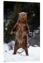 Acrylic print  Grizzly Bear standing in the snow - James Hager