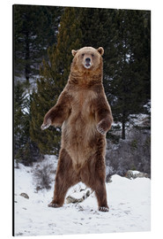 Aluminium print  Grizzly Bear standing in the snow - James Hager