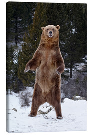Canvas print  Grizzly Bear standing in the snow - James Hager