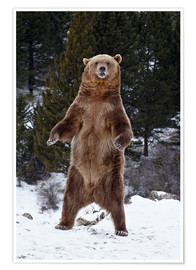 Premium poster Grizzly Bear standing in the snow