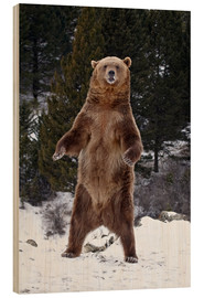 Wood print  Grizzly Bear standing in the snow - James Hager