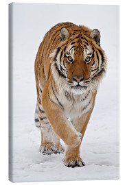 Canvas  Siberian Tiger in the snow - James Hager