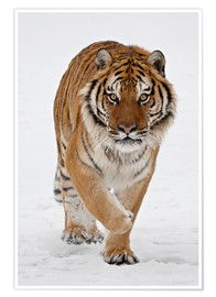 Premium poster  Siberian Tiger in the snow - James Hager