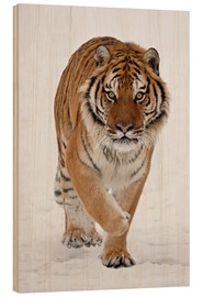 Wood print  Siberian Tiger in the snow - James Hager