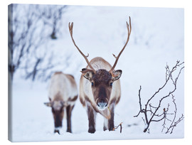 Canvas  Reindeer on Kvaloya Island - Neale Clarke