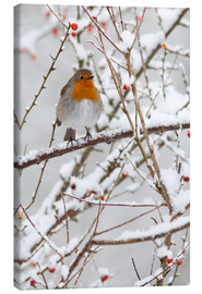 Canvas print  Robin, with berries in snow - Ann & Steve Toon