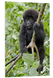 Foam board print  Infant mountain gorilla (Gorilla gorilla beringei) from the Kwitonda group climbing a vine, Volcanoe - James Hager
