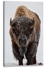 Canvas print  Bison in winter - James Hager