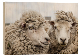 Wood print  Sheep waiting to be shorn, Falkland Islands - Michael Nolan