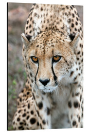 Alu-Dibond  Cheetah on foray, South Africa - Fiona Ayerst