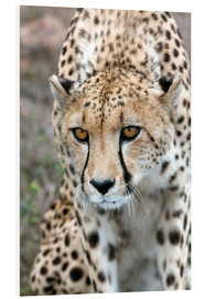 Forex  Cheetah on foray, South Africa - Fiona Ayerst