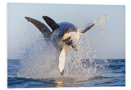 Foam board print  Great white shark - David Jenkins