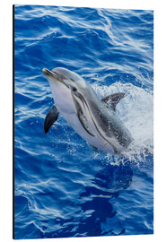 Alu-Dibond  Adult striped dolphin - Michael Nolan