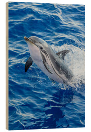 Wood print  Adult striped dolphin - Michael Nolan