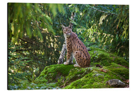 Aluminium print  Lynx in the Bavarian National Park - Roberto Moiola