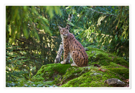 Premium poster  Lynx in the Bavarian National Park - Roberto Sysa Moiola