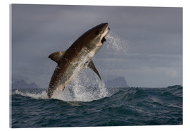 Acrylic print  Great white shark (Carcharodon carcharias), Seal Island, False Bay, Simonstown, Western Cape, South - David Jenkins