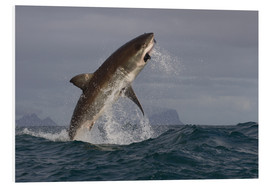 Foam board print  Great white shark (Carcharodon carcharias), Seal Island, False Bay, Simonstown, Western Cape, South - David Jenkins