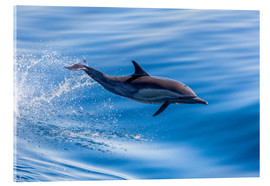 Acrylic print  Long-beaked common dolphin leaping - Michael Nolan