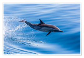 Premium poster  Long-beaked common dolphin leaping - Michael Nolan