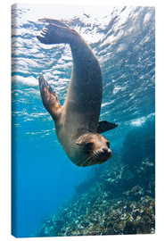 Canvas  Galapagos sea lion - Michael Nolan
