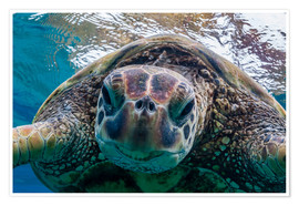 Premium poster  Green sea turtle - Michael Nolan