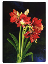 Canvas print  Amaryllis - Franz Heigl