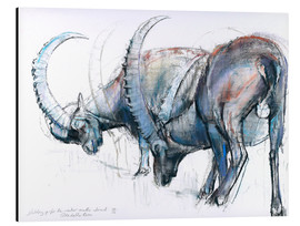 Aluminium print  Ibex searching food - Mark Adlington
