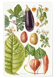 Poster  Potato, Aubergine, Tobacco and Winter Cherry - Elizabeth Rice