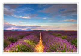 Premium poster Fields of Lavender, Provence