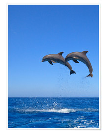 Premium poster Playful dolphins