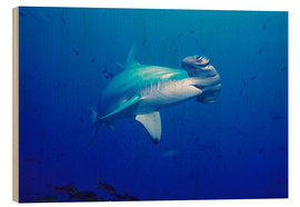 Wood print  Scalloped Hammerhead - Ed Robinson
