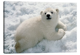 Canvas print  Young polar bear in the snow - Mark Newman