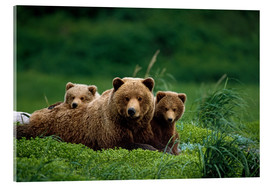 Acrylic print  Grizzly bear with cubs - Jo Overholt