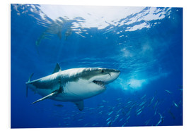 Foam board print  Great White Shark in front of Guadalupe - Dave Fleetham