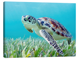 Canvas print  Green sea turtle - M. Swiet
