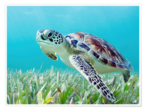 Premium poster Green sea turtle