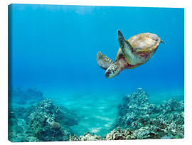 Canvas print  Green Turtle - M. Swiet