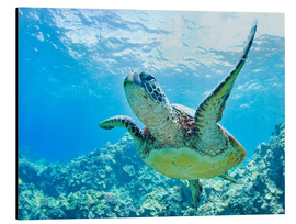 Aluminium print  Green sea turtle off Hawaii - M. Swiet