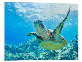 Foam board print  Green sea turtle off Hawaii - M. Swiet