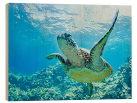 Wood print  Green sea turtle off Hawaii - M. Swiet