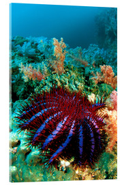 Acrylic print  Crown-of-thorns starfish - Dave Fleetham