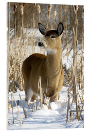 Acrylic print  Whitetail Deer - Philippe Henry