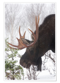 Premium poster  Moose in Winter - Philippe Henry