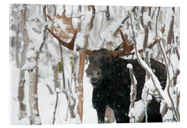 Acrylic print  Elk sniffing in a winter forest - Philippe Henry