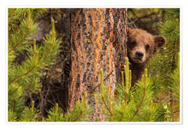 Premium poster Grizzly bear behind a tree