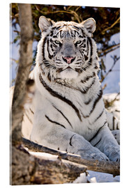 Acrylic print  White Bengal Tiger - Chad Coombs